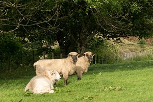 Shropshire sheep in meadow