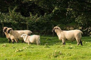 Shropshire sheep and lambs in meadow