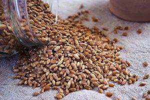 Wheat grain germination. selective focus