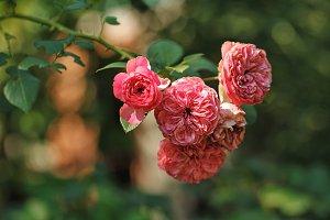 Peony- rose