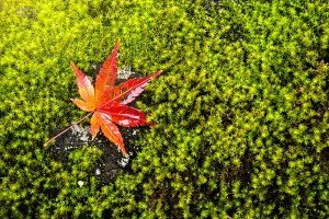 Red Autumn Maple Leaf on Green Moss