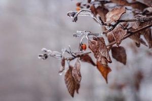 Frozen Leaves in early Winter