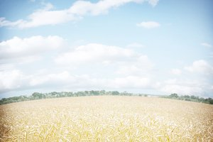 Wheat field and bly sky.