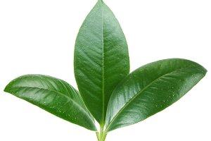 Three green leaf on white background.