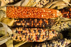 Indian corn on display