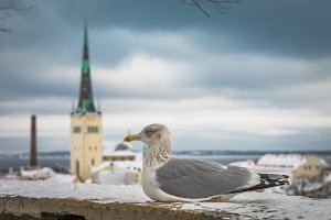 Seagull and old city Tallinn