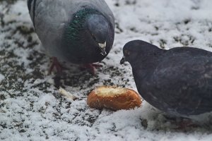 Doves eating bread