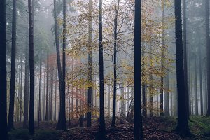 Foggy Autumn Forest #03
