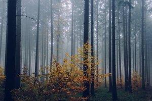 Foggy Autumn Forest #12