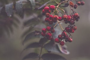 Decaying Red Berries