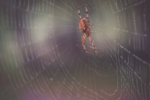 Spider in his web with dew on it