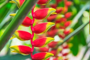 heliconia tropical flower in asian park