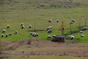 grazing sheep