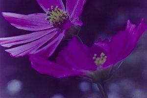 Vintage flowers cosmea
