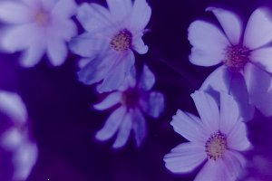 Flowers cosmea