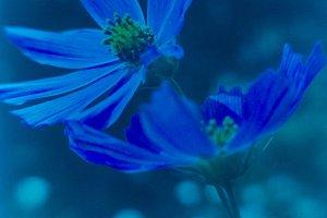 Blue cosmea