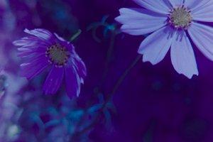 Violet cosmea