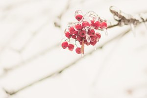 Background ashberry in the ice