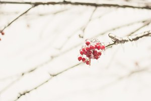 Winter background ashberry