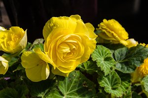 Yellow Begonia flowers