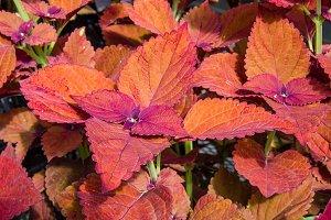 Coleus plant leaves