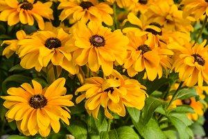Dahlia flowers in bloom