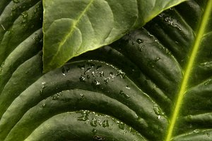 Water Drops on Tropical Leaves