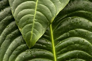 Tropical Leaves and Water Drops