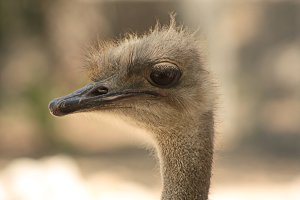A young ostrich. Close-up