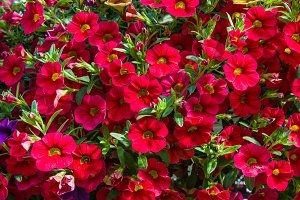 Red flowering Petunias