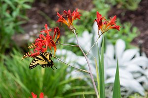 Butterfly on Crocosmia