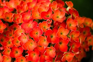 Red Kalanchoe flower