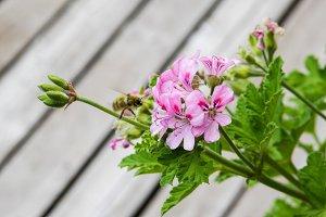 Pink flowering geranium