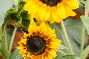 Yellow and orange Sunflower