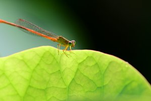 Damselfly Dragonfly