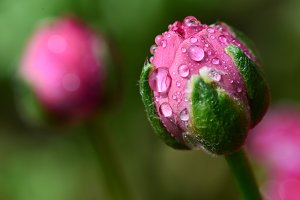 Pink Flower Bud with Water Drops
