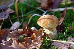 Young mushroom boletus