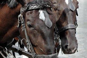 Pair of brown horses