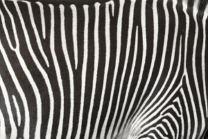 Texture of the skin of a zebra.