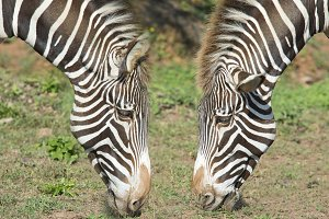 Two heads of zebra.