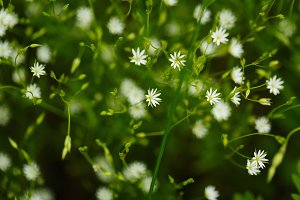 Little flowers of camomile.