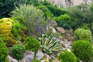 Agave plants.