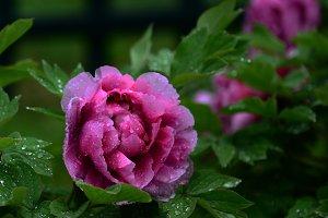 Purple Peony in Rain