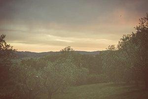 Sunset on olive trees