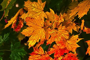 Colorful maple leaves in autumn