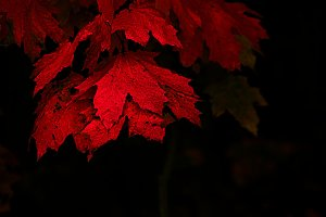 Colorful maple leaves in red