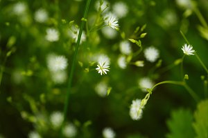 Small flowers of camomile.