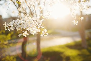 Blossoming cherry on sunset
