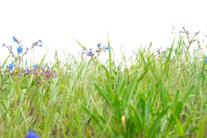 Green grass with blue flowers