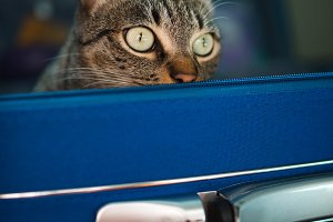 Tabby cat inside a blue suitcase